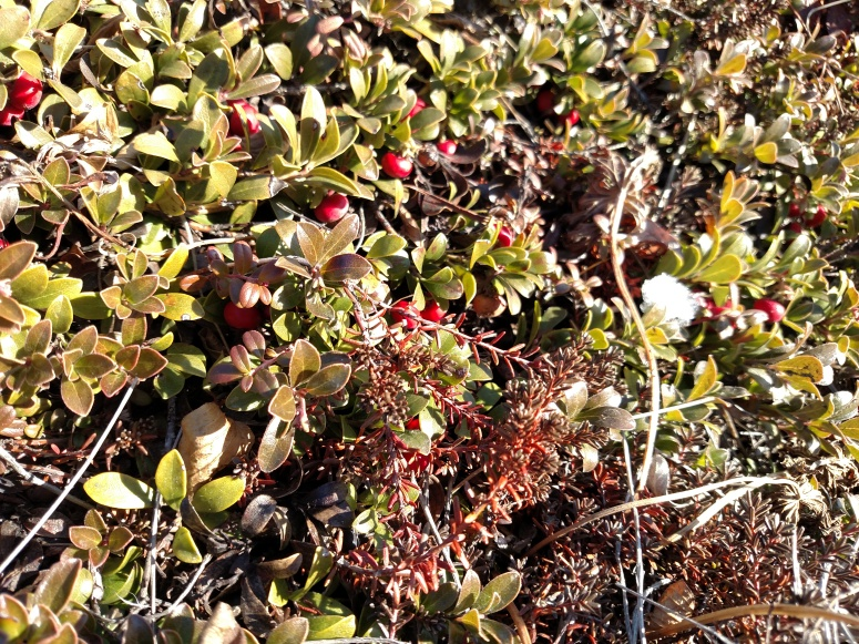 crow berries.jpg